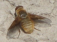 Which Villini Bee Fly?