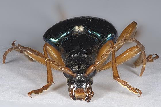 Flower Longhorned Beetle - Gaurotes cyanipennis