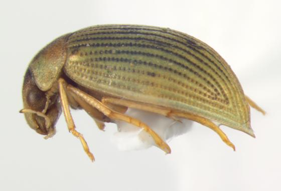 Hydrophilidae, lateral - Berosus aculeatus