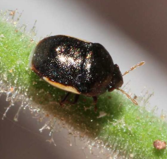 Small Black Bug with red or white edges - Corimelaena