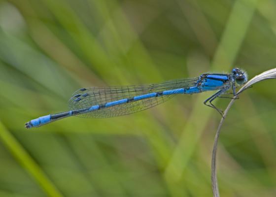 Familiar Bluet - Enallagma civile - male