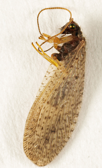 Insect to black light - Micromus subanticus