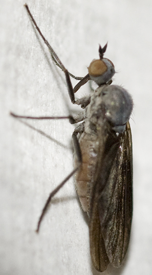 Dance Fly - Rhamphomyia