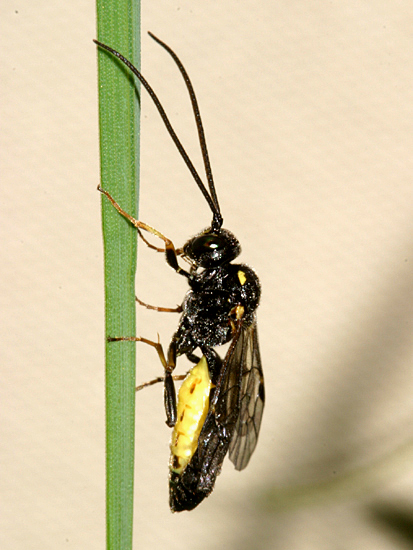 yellow-bellied wasp - Exenterus