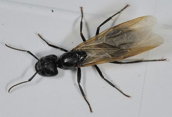 Winged Ant - Camponotus pennsylvanicus