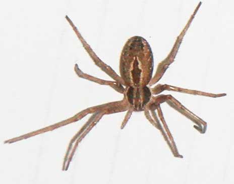 Unknown spider - Thanatus