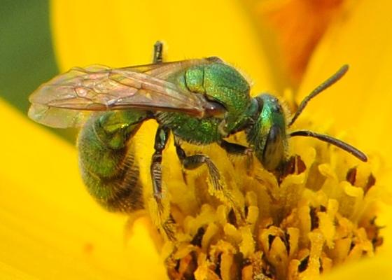 Sweat Bee (Augochlorella sp.) - Augochlorella - female