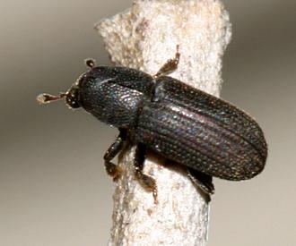 Bark Beetle? - Hylastes porculus