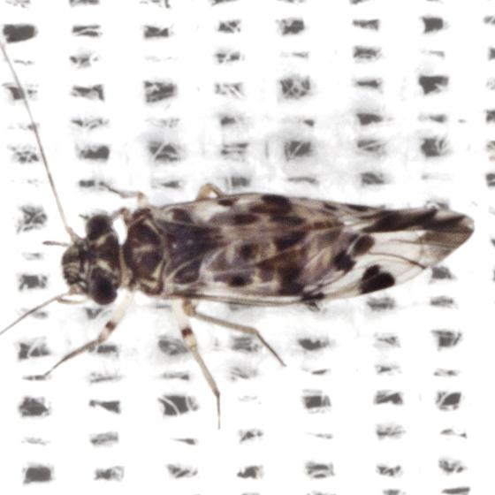 Barklouse - Indiopsocus lanceolatus - female