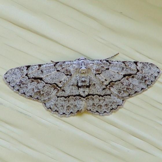 Moth - Stenoporpia anastomosaria