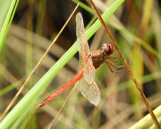 Unknown Meadowhawk? - Libellula needhami - male
