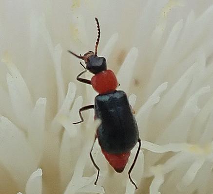 similar to Attalus nigripes