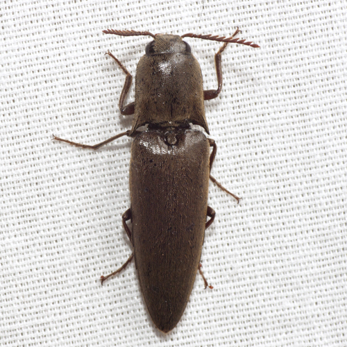 Large Click Beetle - Orthostethus infuscatus
