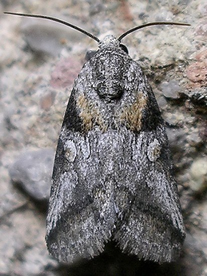 moth - Aleptina inca