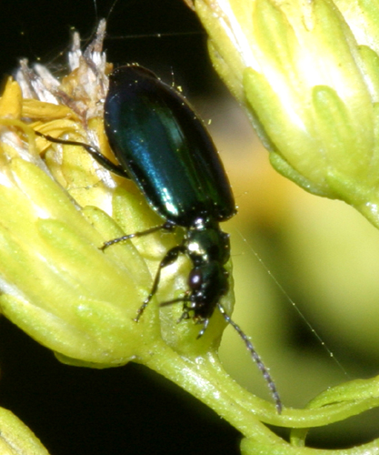 Ground Beetle - Lebia viridis