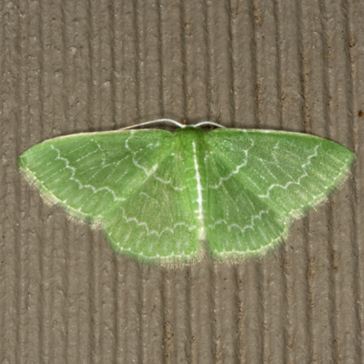 Southern Emerald Moth - Hodges #7059 - Synchlora frondaria