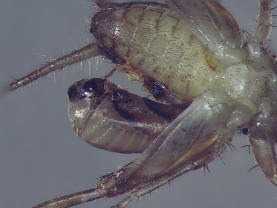 Rhopalosomatidae larval exoskeleton & dead cricket