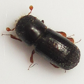 Holly trees dying - Beetle 2 - Euwallacea validus