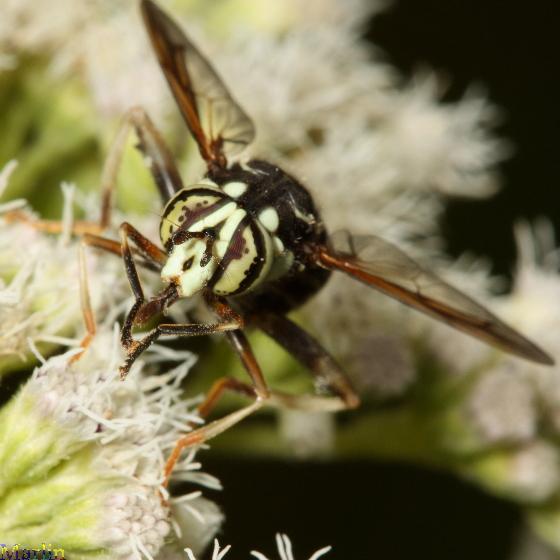 Syrphidae - Spilomyia fusca - male