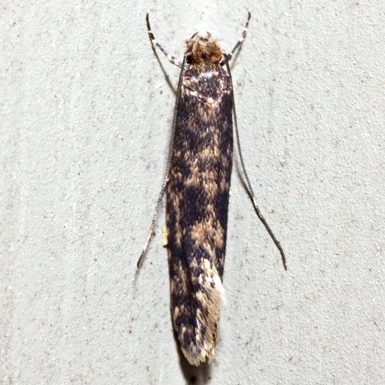 Clothes Moth - Haplotinea