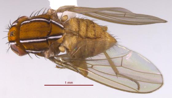 Fly 2 - Zaprionus indianus