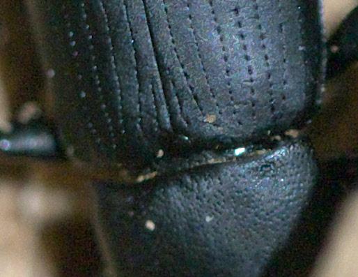 Black Beetle in an Oak Tree - Centronopus opacus