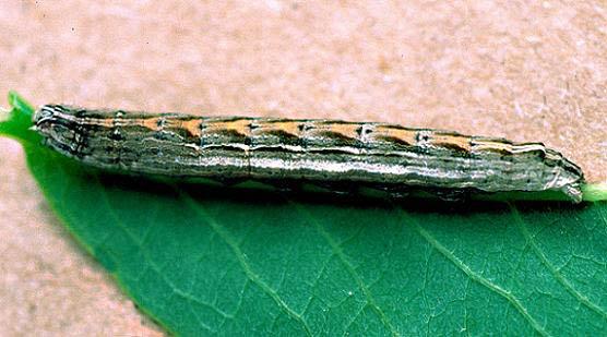 Brown-Lined Sallow Larva - Sympistis badistriga