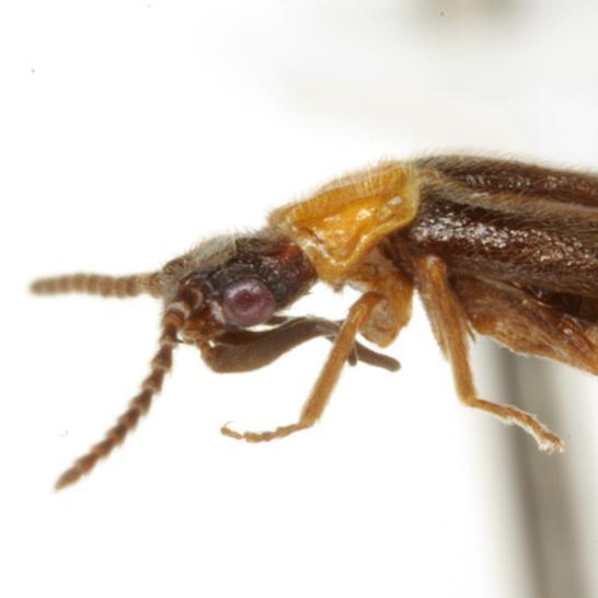 Telegeusis texensis Fleenor and Taber  - Telegeusis texensis - male