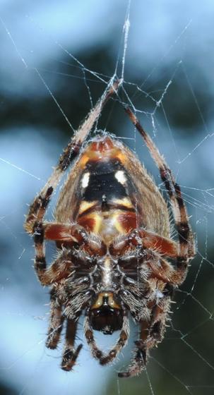 brown orb weaver 2 - Neoscona crucifera