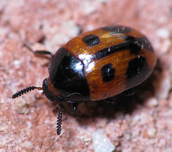 Not a Ladybug - Diaperis maculata