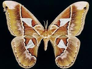Orizaba Silkmoth - Hodges #7762 - Rothschildia orizaba