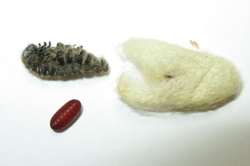 June 6, 2007 - Eastern Tent Caterpillar - Parasitism - Malacosoma americana