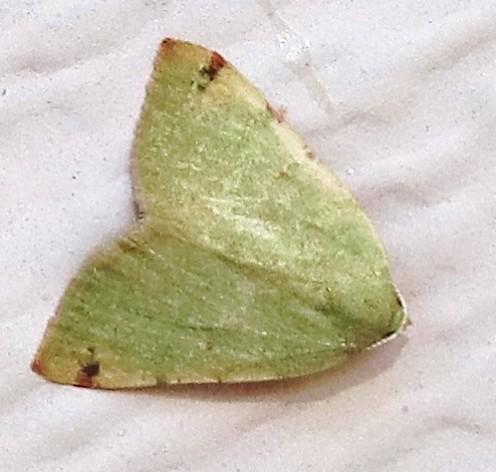 moth? - Chloraspilates bicoloraria - female