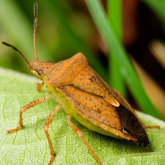 Stink Bug - Euschistus ictericus