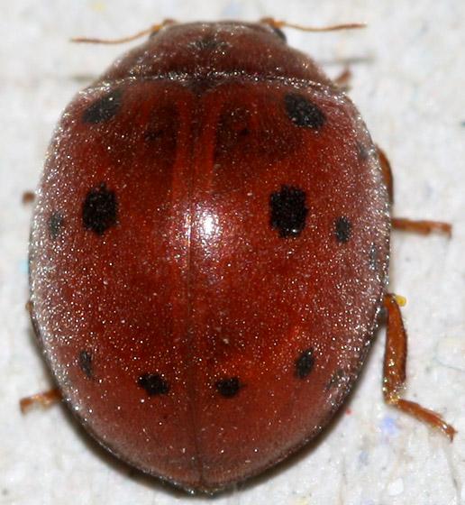 Red Beetle With Black Spots Subcoccinella Vigintiquatuorpunctata