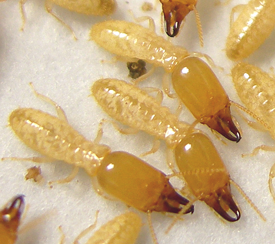 Termite Soldier Types Termite Soldiers