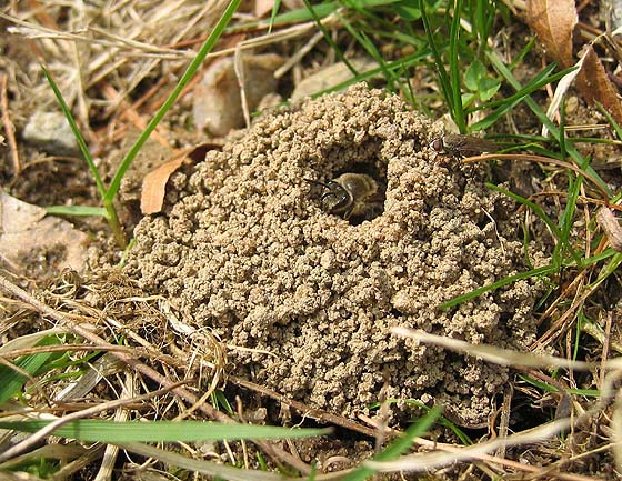 Mining Bee in nest - Colletes inaequalis