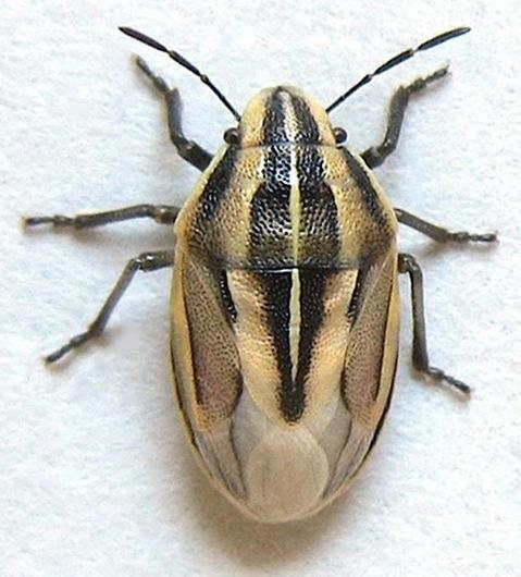 Bug Adult - Aelia americana