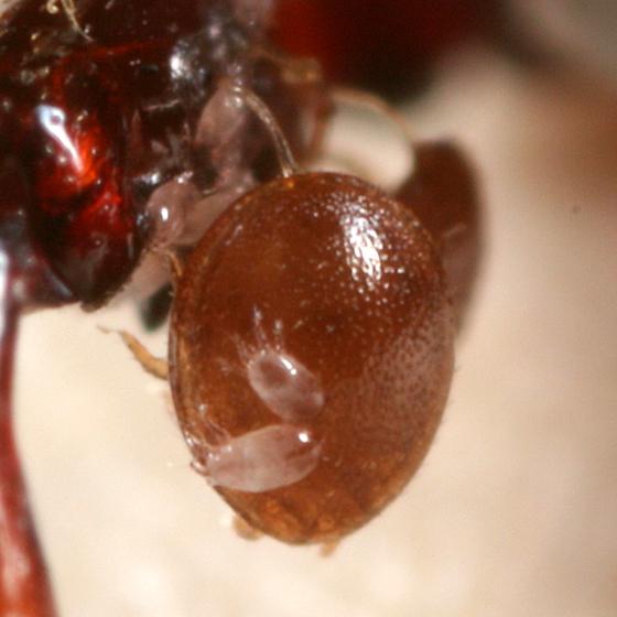 Beetle Mites