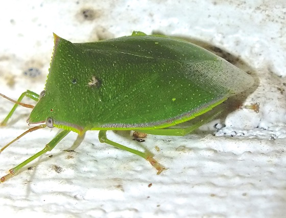 Large Green Stink Bug - Loxa flavicollis