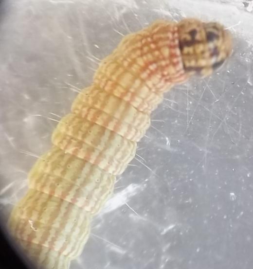 Caterpillar on goat's rue (Tephrosia virginiana)
