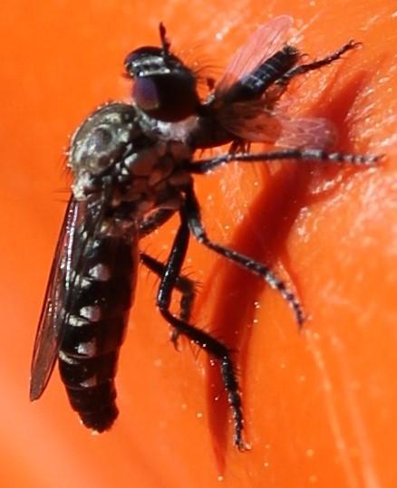 Asilidae - Nannocyrtopogon aristatus