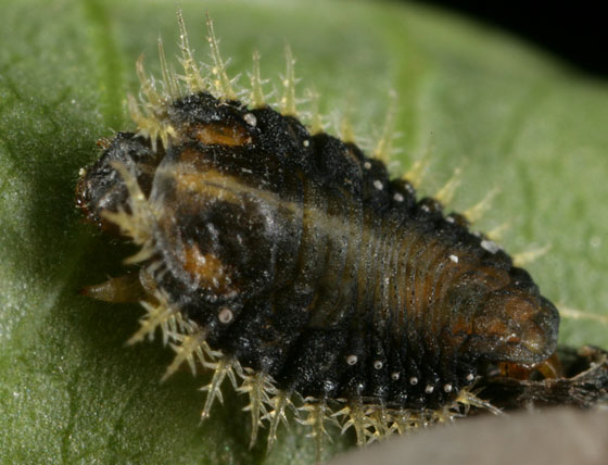 larva 9474 - Charidotella sexpunctata