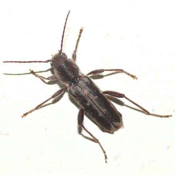 Longhorned beetle - Xylotrechus sagittatus
