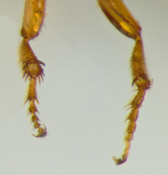 Bethylidae, mid and hind leg - Pristepyris