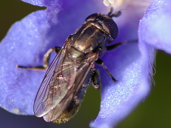 Syrphid Fly - Eumerus - female