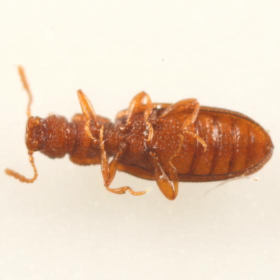 Little brown beetle - Dienerella pilifera