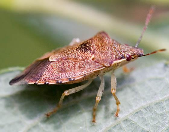 Shield Bug? - Podisus brevispinus