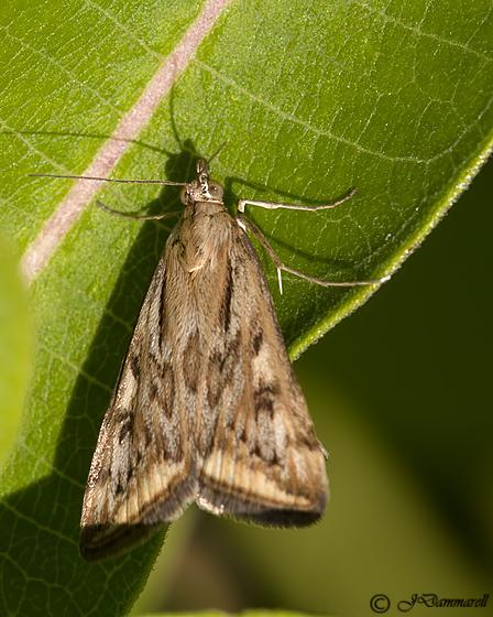 Unknown Moth - Loxostege cereralis