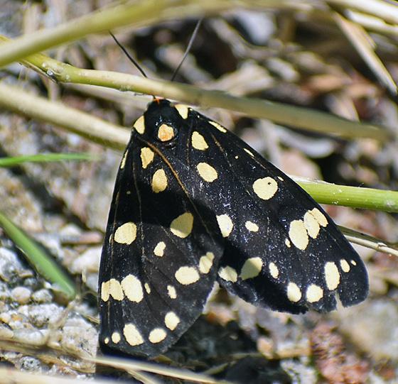 Moth....? - Arctia virginalis